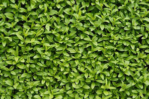 Privet Hedges Bangor (BT19)