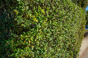 Privet Hedges Marlow (SL7)