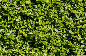 Privet Hedges Cirencester (GL7)